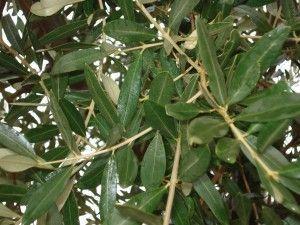 foglie olivo 300x225