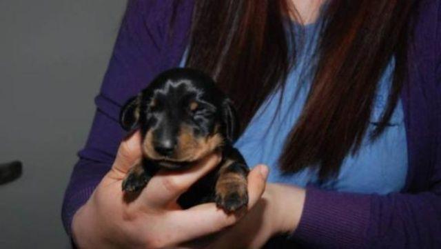 Mini Winnie, bassotto clonato in Gran Bretagna da scienziati coreani
