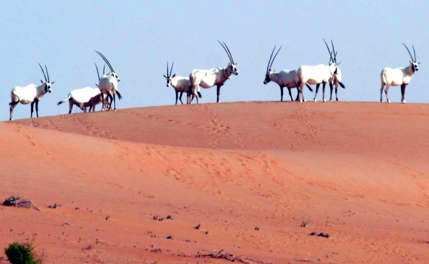 orice bianca nel deserto arabo