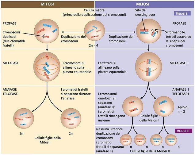 Mitosi e meiosi differenze