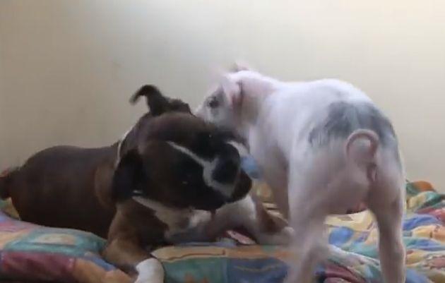 Il cane che gioca con il maialino