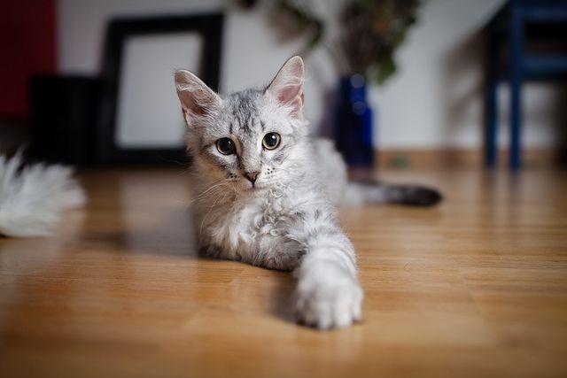 Gatti straordinari: tutti gli esempi più incredibili
