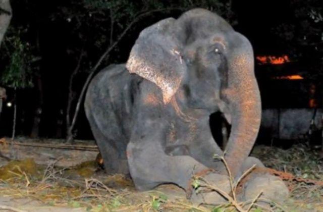 Raju, elefante indiano liberato dalle catene dopo 50 anni