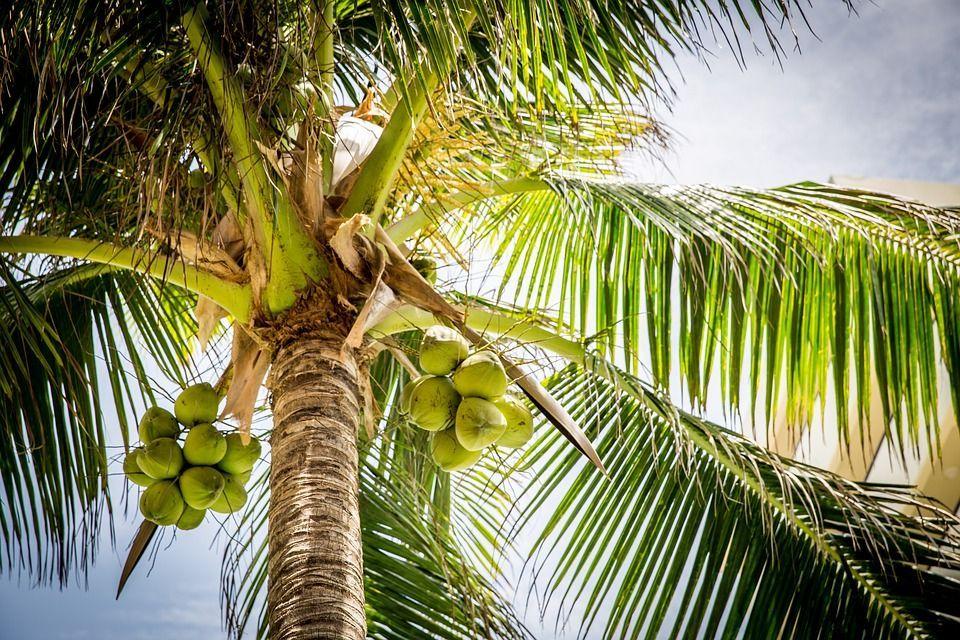 controllore del cocco