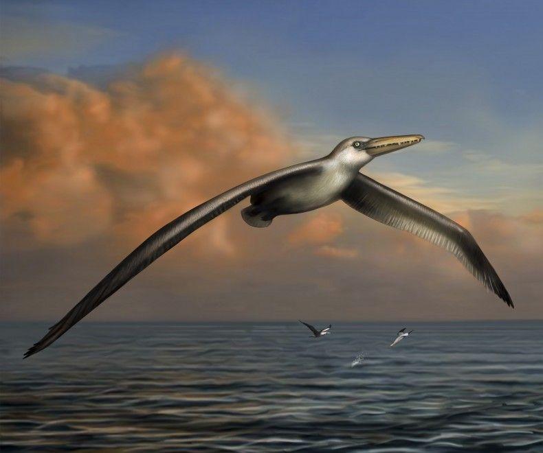 Pelagornis sandersi, uccello fossile con apertura alare di 7 metri