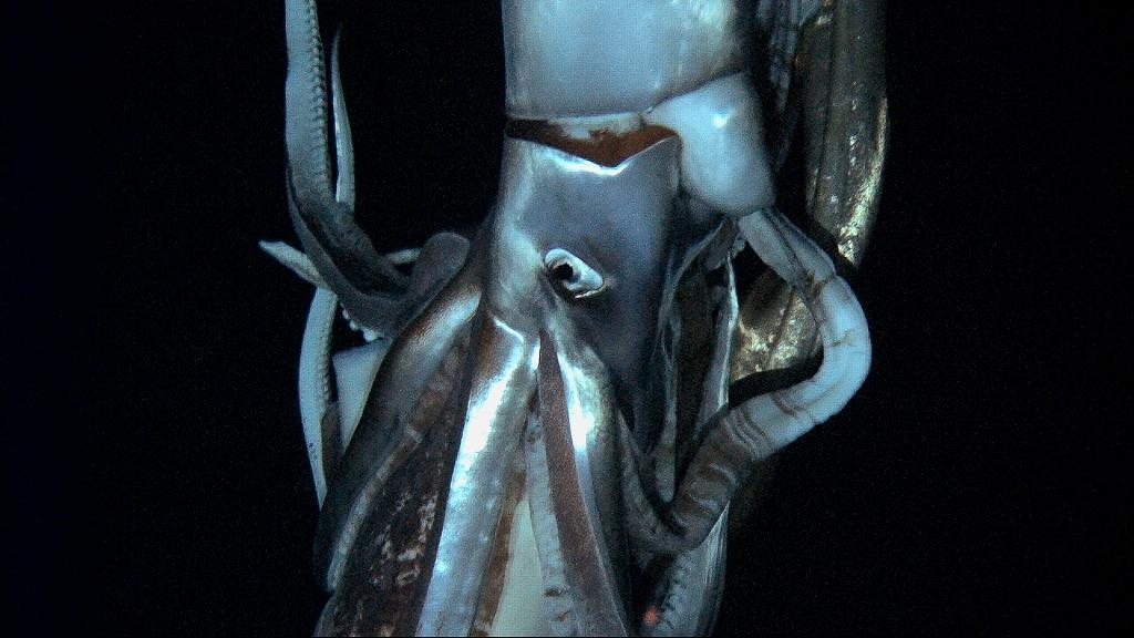 Calamaro gigante in Antartide: scienziati al lavoro per studiarne i segreti