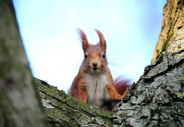 scoiattolo thailandese