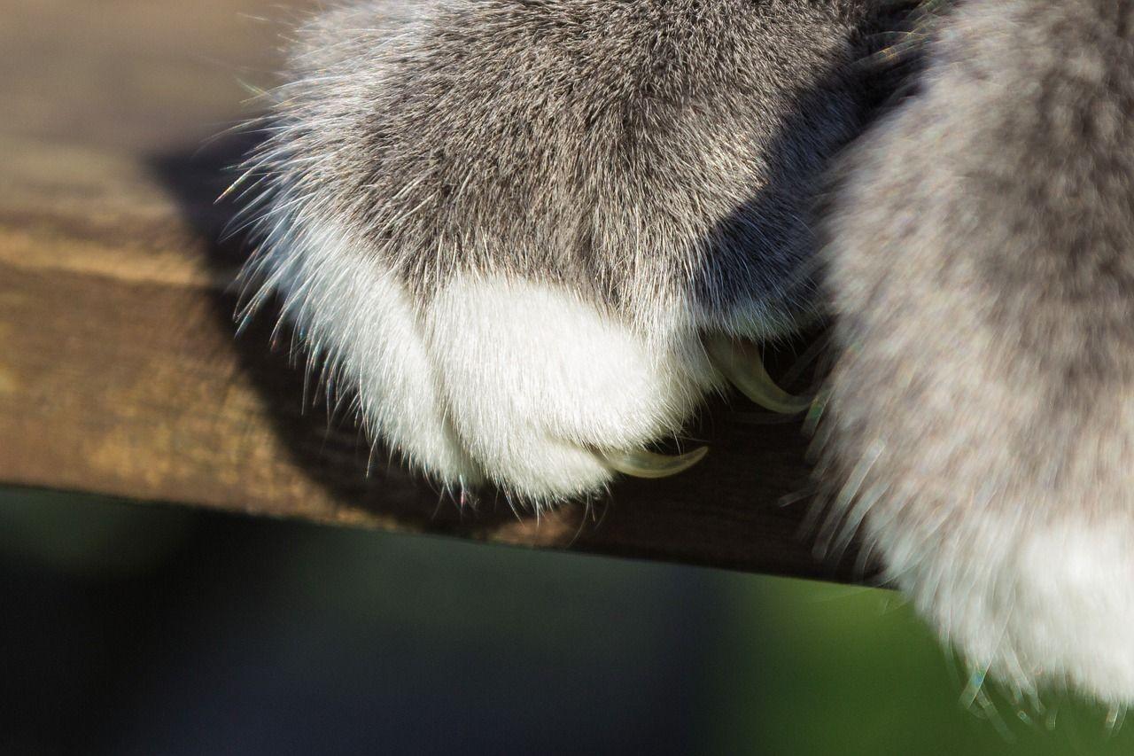 Artigli di gatto