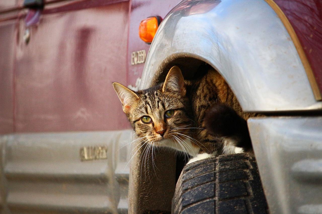 Gatto auto