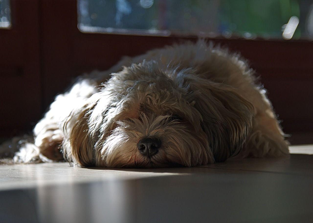 Cane annoiato (2)