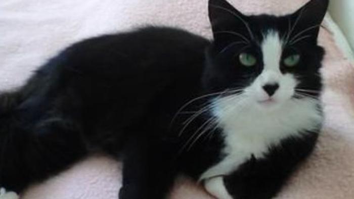 Cookie, gatto che ha attraversato la Francia per ritrovare la sua famiglia