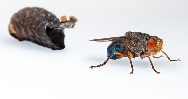 Entomologo fa crescere una larva di mosca sotto la pelle e filma l'uscita