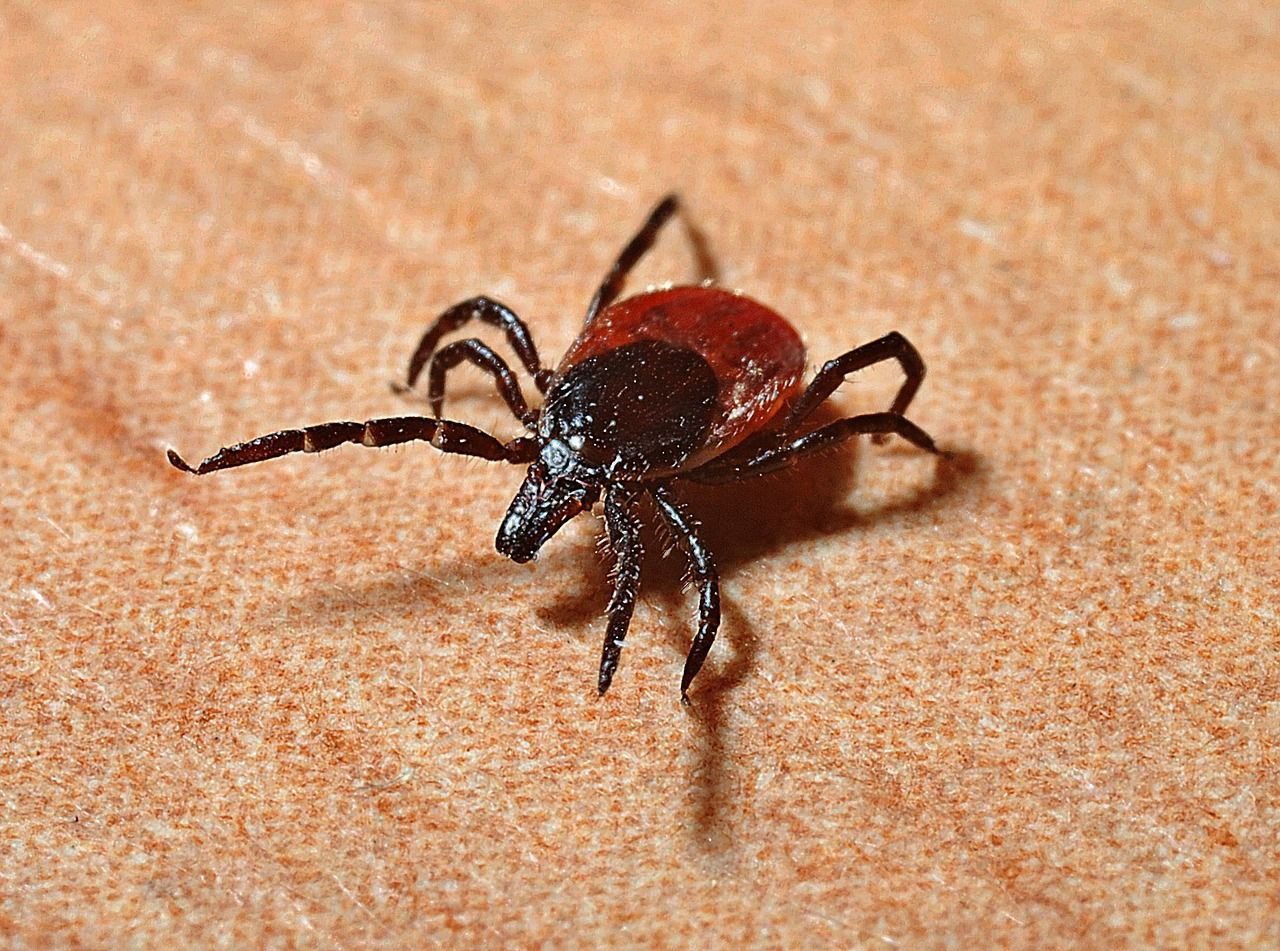 Malattia di Lyme: sintomi e terapia
