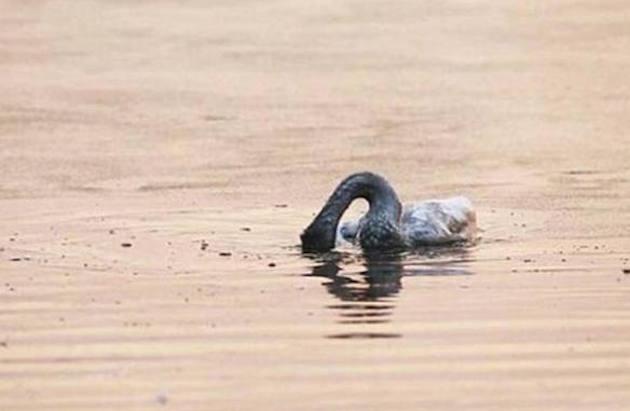 Cucciolo di cigno si suicida dopo la morte di un familiare