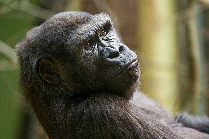 L'Ebola ha ucciso un terzo dei gorilla e degli scimpanzé del mondo