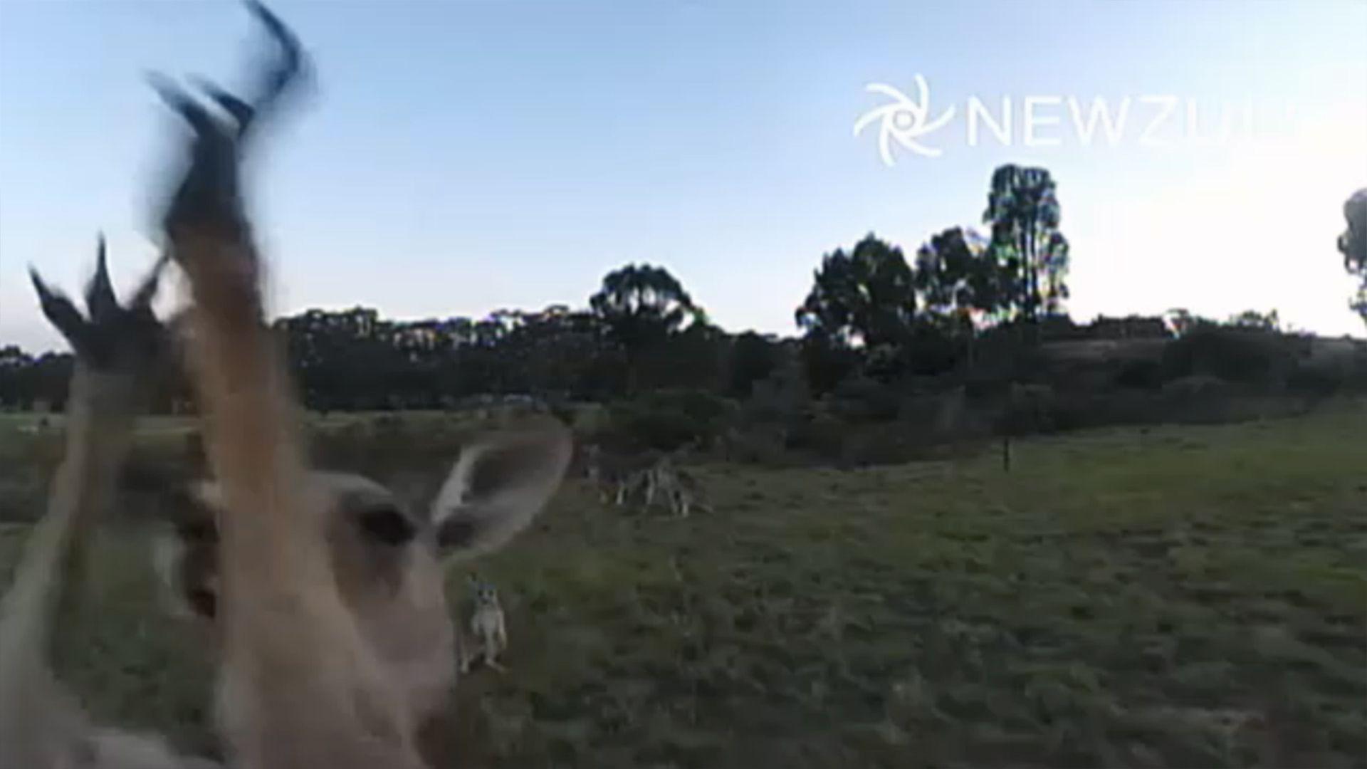 Canguro attacca e mette KO quadricottero