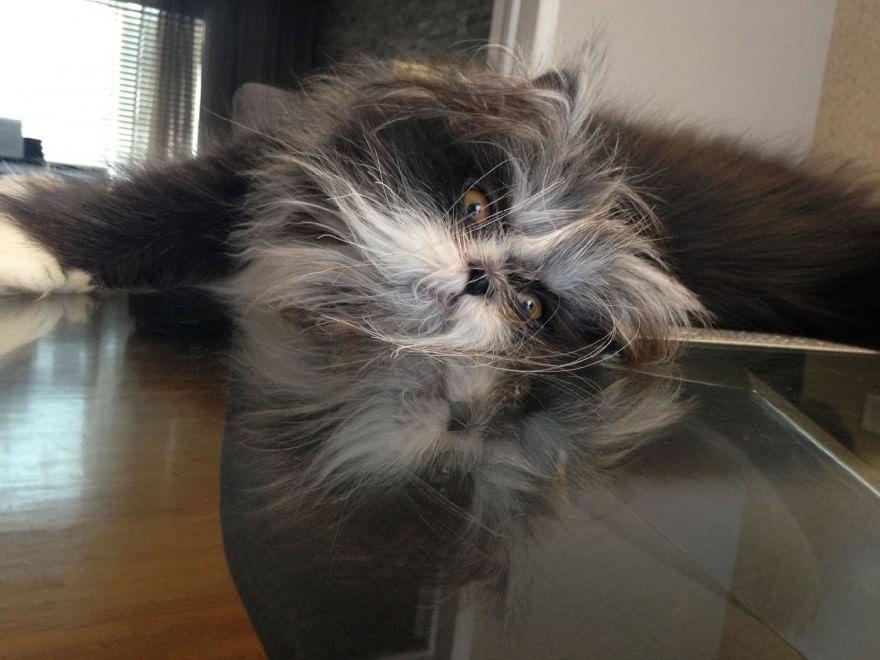 Atchoum, gatto peloso e spettinato che impazza in Rete