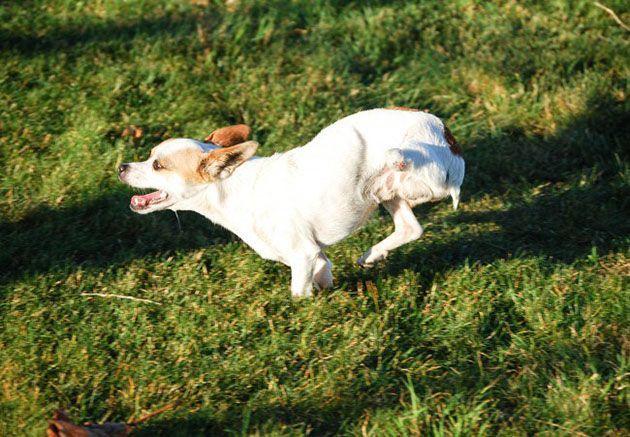 Salvato il chihuahua con due zampe: il cane disabile è stato adottato