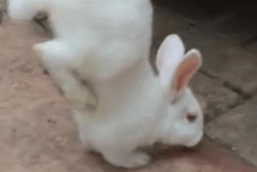 Il coniglio disabile che cammina su due zampe