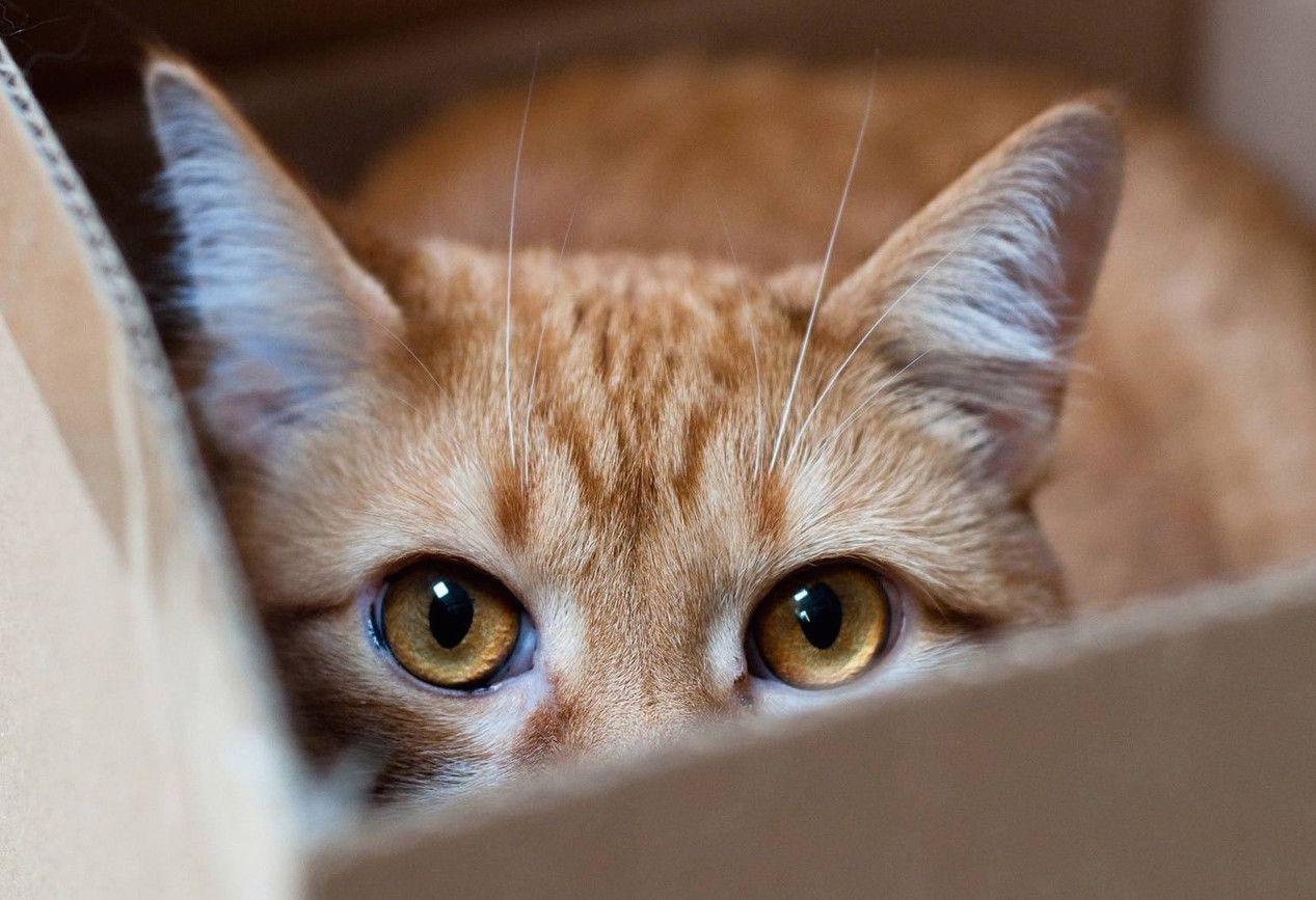Perché ai gatti piace entrare nelle scatole?