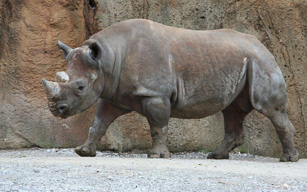 Rinoceronte a rischio estinzione: 1215 esemplari uccisi nel 2014