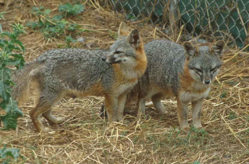 Strage di volpi in provincia di Ancona: la denuncia delle associazioni animaliste