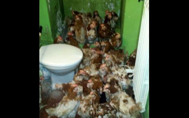 Milano, allevamento di polli trovato in case occupate da abusivi