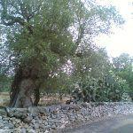 Ulivi del Salento, xylella causa del disseccamento: la conferma di uno studio Efsa