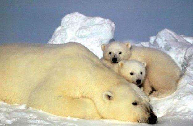riscaldamento globale orsi