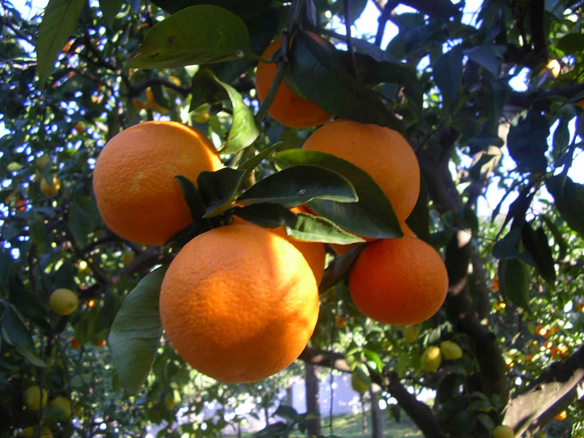 Si scrive arancie o arance?