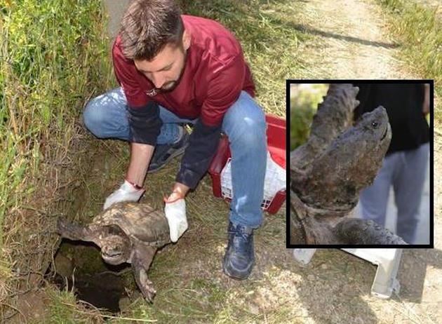 Tartaruga azzannatrice trovata per caso a Velletri. E' pericolosa
