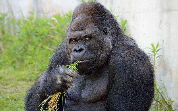 Shabani, il gorilla che conquista le donne: fanno la fila per un selfie con lui