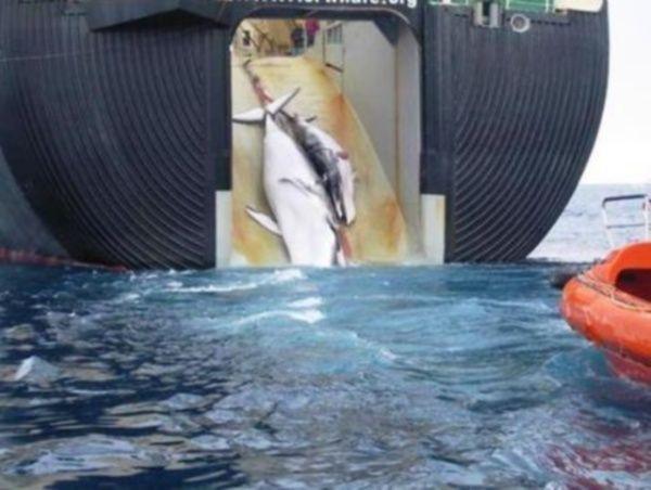 Caccia alle balene, Islanda riprende l'attività: la denuncia di Greenpeace