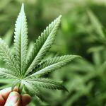 Marijuana: effetti benefici e collaterali