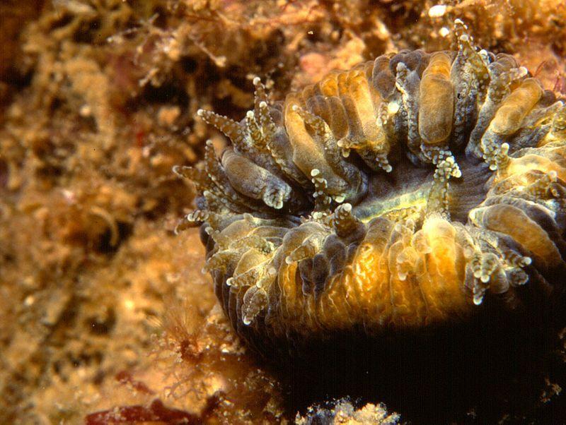 corallo mediterraneo