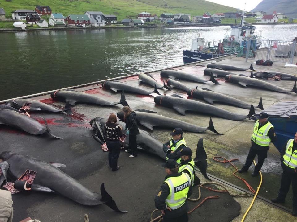 strage delfini far oer sea shepherd