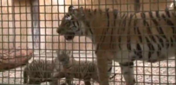 Cuccioli di tigre siberiana muovono i primi passi allo zoo di Berlino