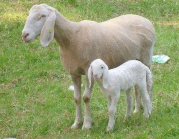 animali clonati