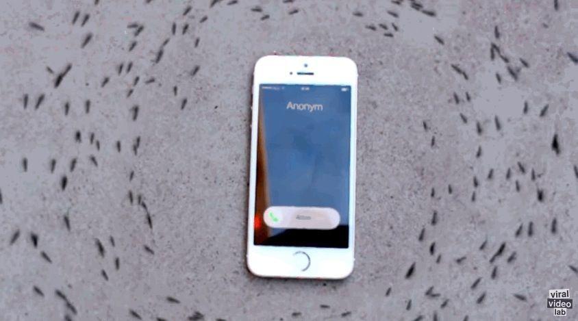 Il mistero delle formiche che girano intorno a un iPhone