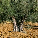 Xylella Fastidiosa: stop ai tagli degli ulivi in Puglia, la procedura è illegittima