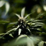 Legalizzazione Cannabis: proposta di legge in discussione alla Camera il 25 luglio