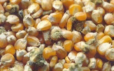 aflatossina 150x150