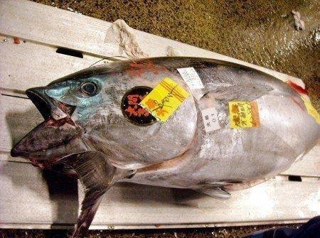 commercio tonno rosso