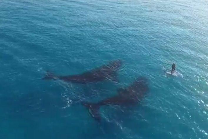 Drone riprende balene che nuotano vicino ad un uomo
