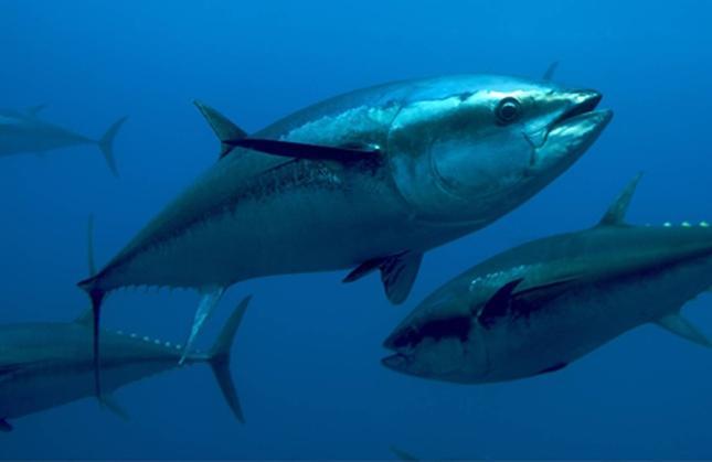 pesca tonno rosso