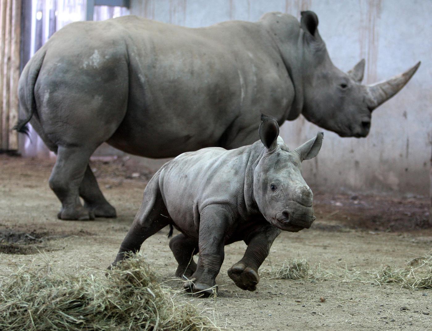 Rinoceronte bianco del nord: solo tre esemplari rimasti sulla Terra