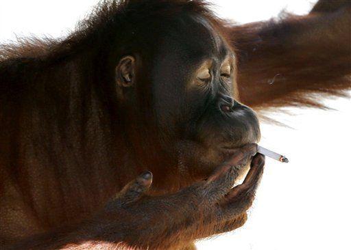 scimmia fuma