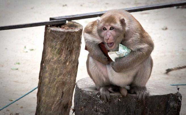 scimmia soldi