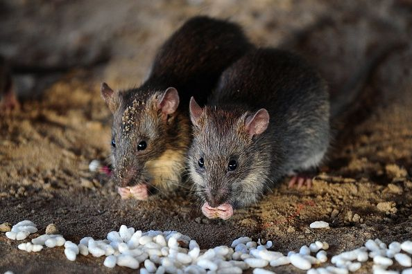 INDIA ANIMAL RAT