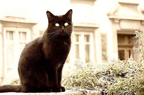 Gatto nero z